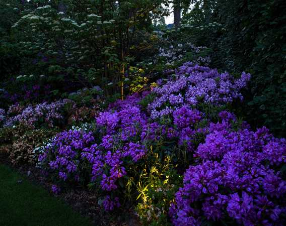 Rhododendron bed med belysning